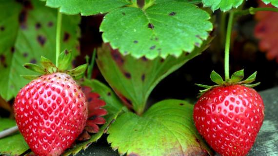 Tramitadas ayudas por valor de 14,9 millones a las Organizaciones de Productores de Frutas y Hortalizas de Huelva