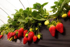En lo que va de temporada se han recogido las primeros 20.000 plantas de fresas y 15.000 de frambuesas.