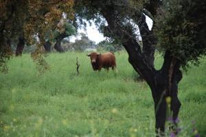 La dehesa onubense, el hábitat natural de la cría de toros.