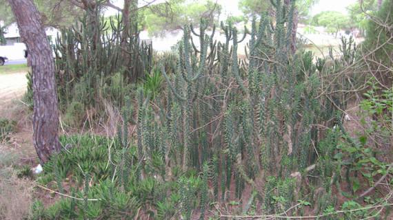 Medio Ambiente elimina tres poblaciones de especies de flora exótica invasora en el litoral de Huelva