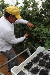 La campaña agrícola ha empleado este año mano de obra nacional para la plantaciones.