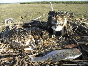 Nido de águilas pescadoras en Marismas del Odiel.