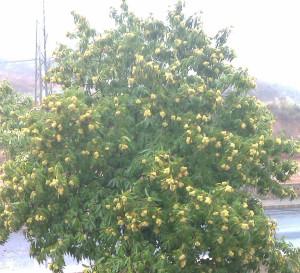 El árbol de castaña brinda múltiples beneficios.