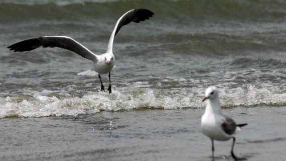 Una charla sobre las gaviotas cierra el III Ciclo de Jornadas Ornitológicas de Huelva
