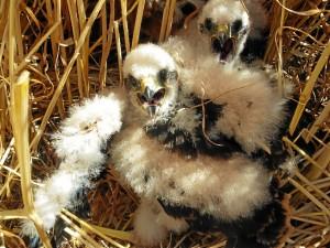 El programa de conservación vela este año por las crías de alrededor de 60 parejas reproductoras que sobrevuelan el territorio onubense
