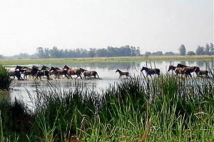 Las yeguas se encuentran en las Marismas del Doñana. / Foto:
