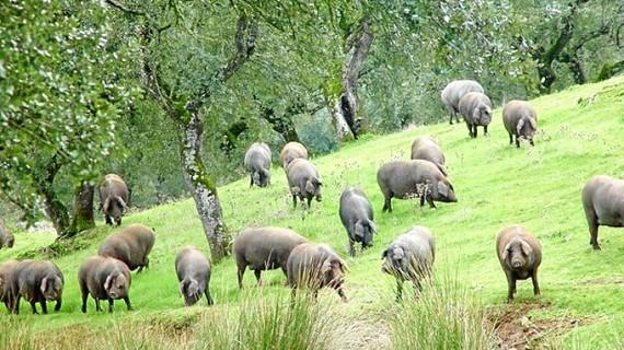 Huelva acapara más del 60 por ciento de la cabaña  de cerdo ecológico de toda Andalucía
