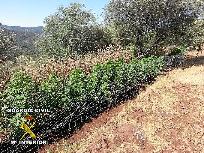 Plantación de marihuana en Cortegana.