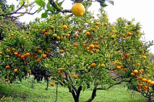 Reglamento para los árboles frutales. / Foto: facilisimo.com.