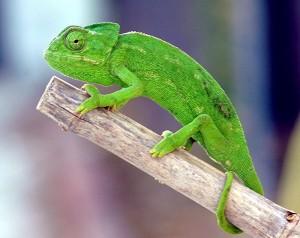 La actividad se centra en el camaleón.