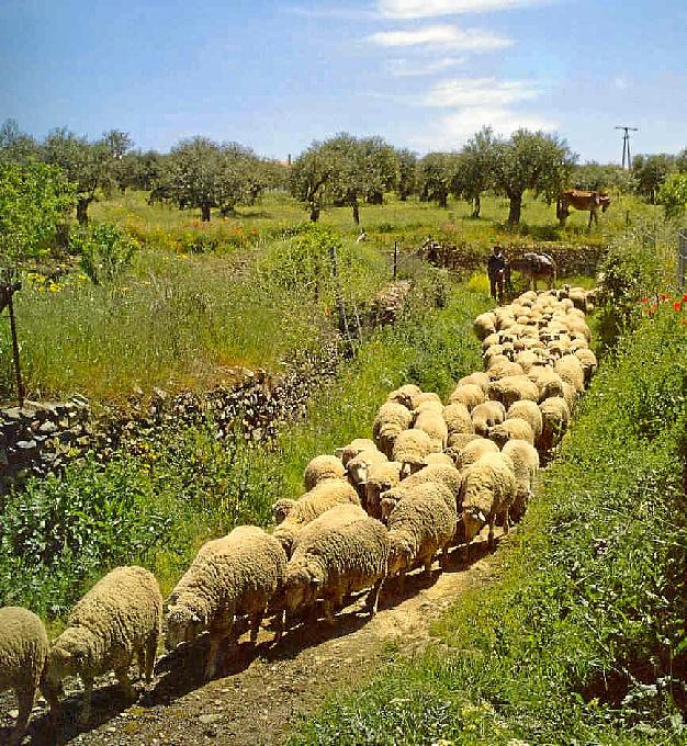 La provincia de Huelva tiene 53 entidades que comprenden un total de 16.682 entre ovejas y cabras.