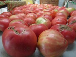 Cada mata da alrededor de 12 kilos de tomates.