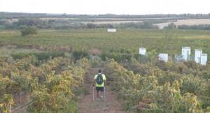 Entre viñedos se desarrollará el I Nordic Walking, una actividad que une deporte y salud.