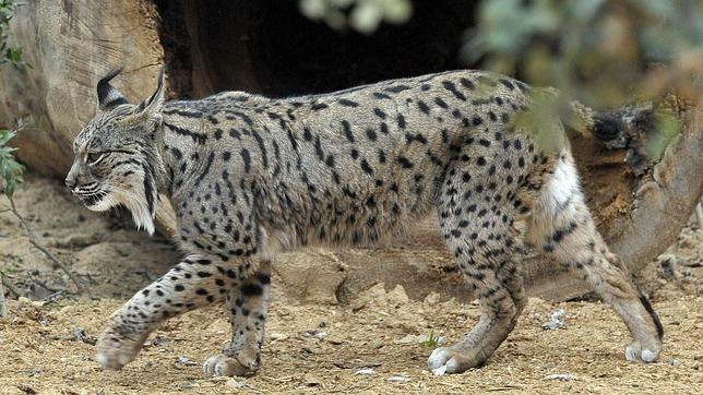 El lince es una especie protegida. / Foto: linceiberico.net