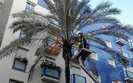 Llevan a cabo en la capital labores de prevención contra el Picudo Rojo mediante la poda de palmeras