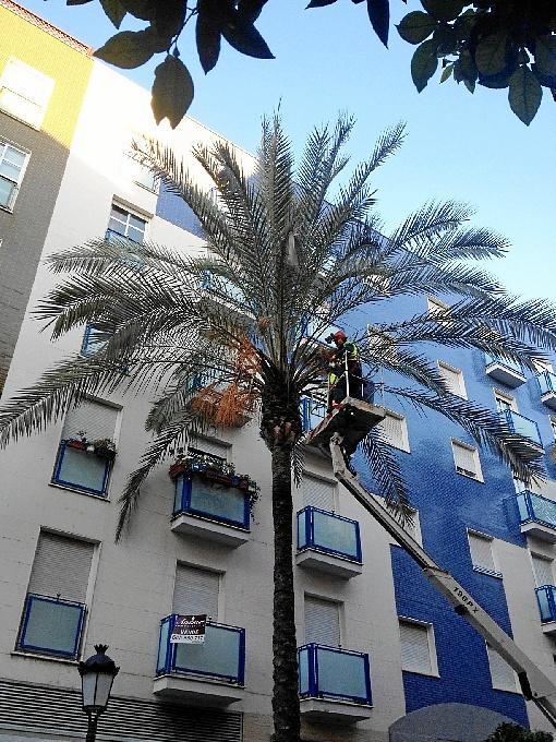 Se están llevando a cabo podas de palmeras en la capital onubense.