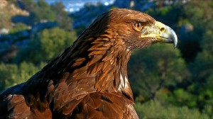 Un ejemplar de águila imperial.