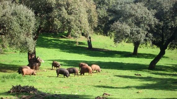 La Sierra de Aracena y Picos de Aroche difunde los valores naturales y culturales de la dehesa con 'Del cerdo hasta los andares'