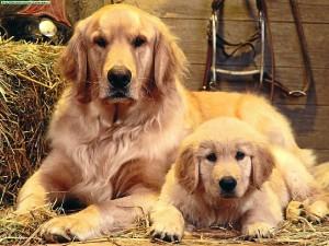 La Asociación trabaja principalmente con Retrievers y Golden Retrievers. / Foto: taringa.net