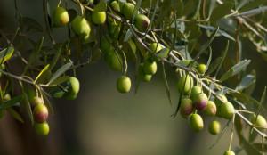 La recolección ha sido muy buena este año debido a las escasas lluvias. / Foto: aceitehuelva.com