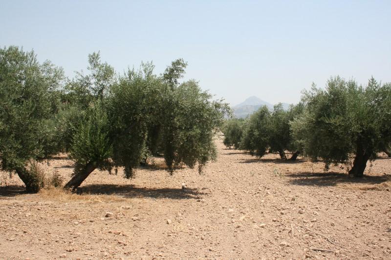 La provincia de Huelva destaca por el cultivo ecológico del olivar.