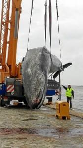 Imagen de una ballena que apareció en aguas de la ría de Huelva en 2014.