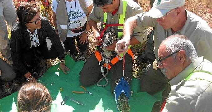 El Paraje Natural Marismas del Odiel avanza en la reintroducción del águila pescadora