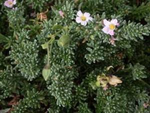 El brezo de mar es una especie vegetal característica del ecosistema marismeño.
