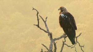 El águila imperial también es protagonista.
