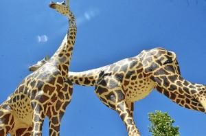 Las dos jirafas instaladas en el municipio palermo.