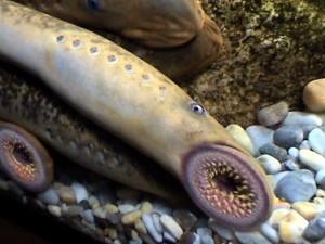 Ejemplar de lamprea marina.