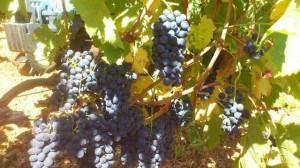La uva Emprieta o Amprieta ha aparecido en Rociana.