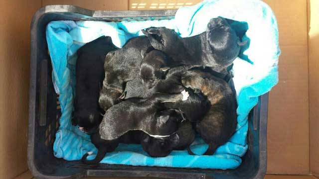 Rescatados diez cachorros de perro 'Labrador' en Lepe que habían sido abandonados