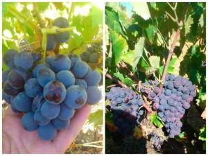 Imagen de las nuevas variedades de uvas tintas descubiertas en Huelva.