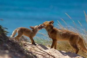 Un zorro aparece como hilo conductor en la historia.