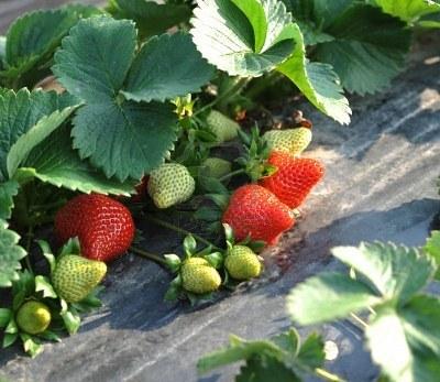 El sector fresero apuesta por la diversificación, posible causa de la mejoría del precio de la fresa