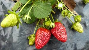El cultivo de fresas ha evolucionado con los años.