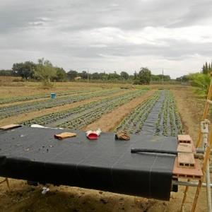 El cultivo de la stevia se plantea como una alternativa a la agricultura tradicional onubense.