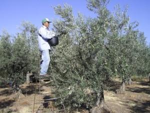 El olivar supone el 40% del total de empleo agrario de Andalucía.