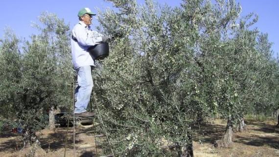 El Plan Director del Olivar, una herramienta para hacer más competitivo el principal cultivo de la agricultura andaluza