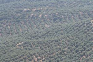 El documento plantea una serie de estrategias para el olivar andaluz.