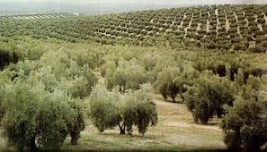 En Andalucía existen alrededor de 1,5 millones de hectáreas destinadas al olivar.