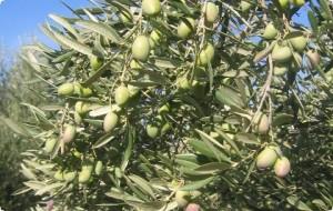 Enlace mínimo histórico para afrontar la campaña de aceite de oliva 2015-2016.