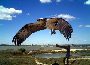 Ejemplar de águila pescadora.