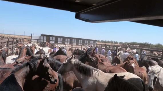Finaliza la Feria Ganadera de Almonte con el regreso de las yeguas a las marismas de Doñana