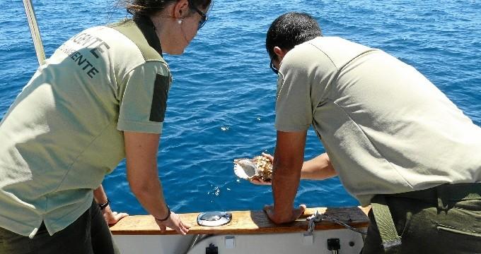 Devueltos al mar once ejemplares de Charonia lampas recuperadas tras su decomiso en un mercado de Huelva