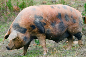 Un ejemplar de cerdo Manchado de Jabugo.
