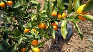 Naranja Kumkuat, también sembradas en Huelva.