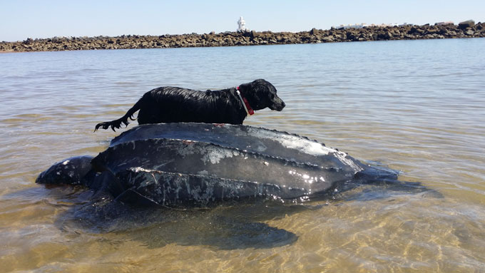 La tortuga marina, una especie muy presente en las aguas de la Costa de Huelva