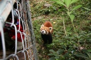 Ejemplar de panda rojo, especie que convive con los pandas gigantes en Chengdu, China.